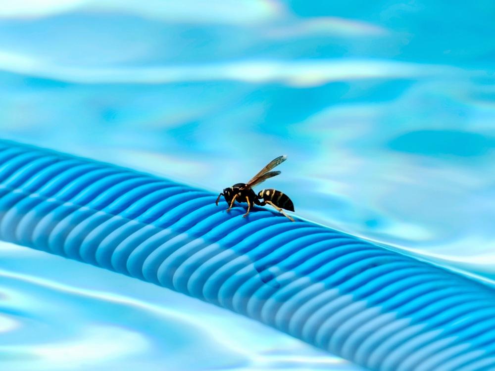 Guêpe sur un tuyau de piscine